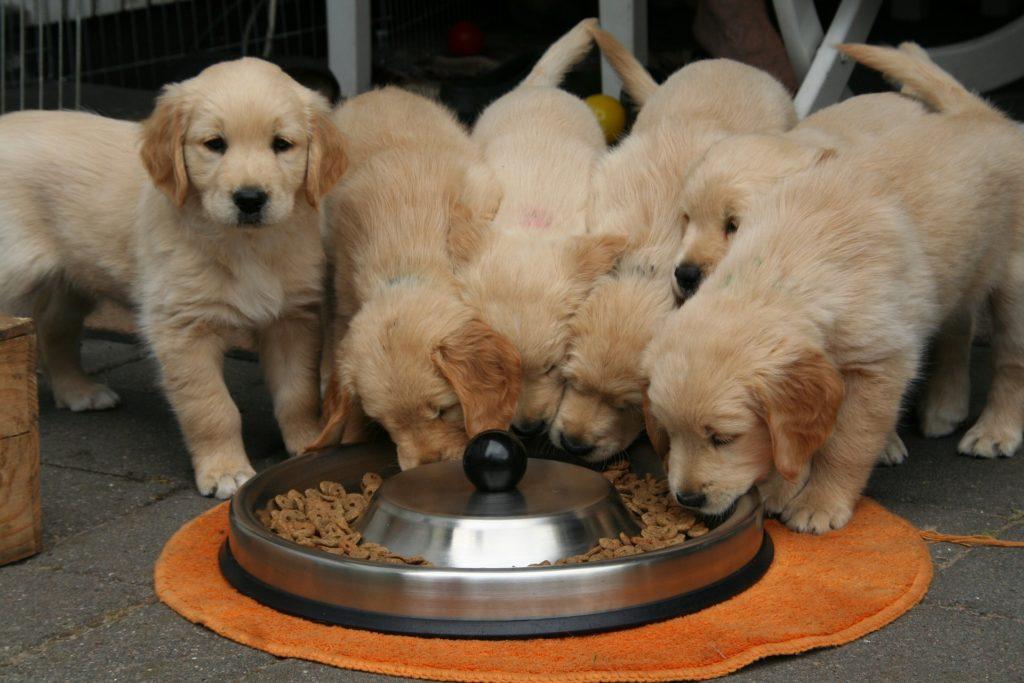 et kuld golden retreiver hundehvalpe spiser 1024x683