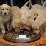 et kuld golden retreiver hundehvalpe spiser 150x150